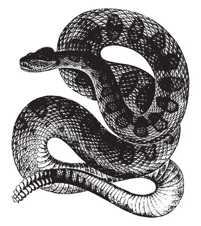 Rattle Snakes are a group of venomous snakes of the genera Crotalus, vintage line drawing or engraving illustration.