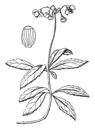 Pipsissewa is a small perennial flowering plant found in dry woodlands, or sandy soils, vintage line drawing or engraving illustration.
