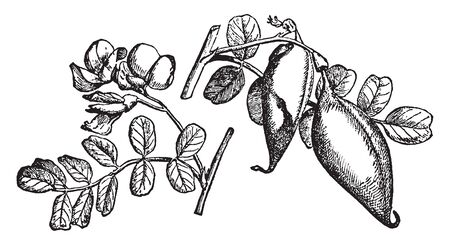 A picture shows branch of Bladder Senna along with fruit and leaves. Its bottom is like tail, fruits are like tubers. A plant of the Colutea genus, vintage line drawing or engraving illustration.
