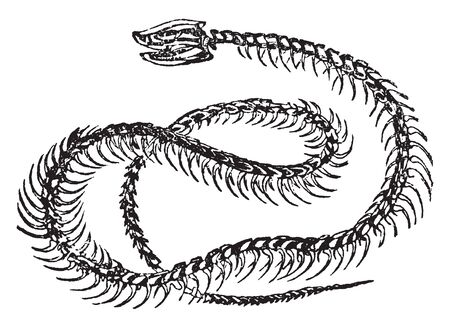 Rattlesnake Skeleton consists primarily of the skull vertebrae and ribs with only vestigial remnants, vintage line drawing or engraving illustration.