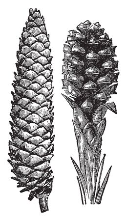 A picture of pinecone which are the woody or conical fruit of a pine, with scales that open to release the seeds, vintage line drawing or engraving illustration.
