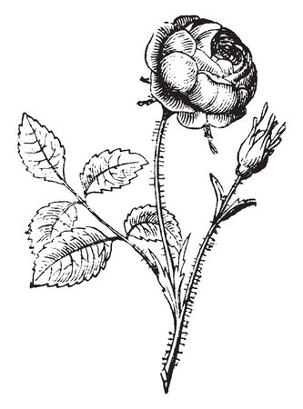 This picture is showing a rose flower. The stems are Thorny. The flowers are small. The petals are wrapped in one another, vintage line drawing or engraving illustration. Illustration