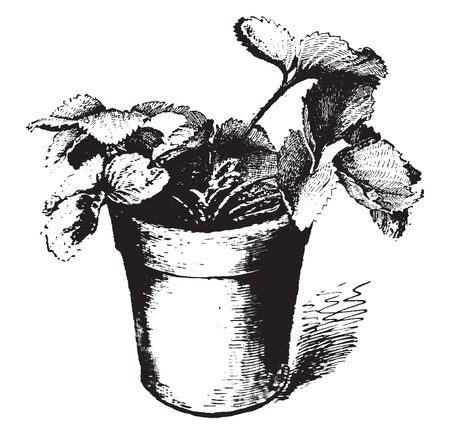 This is strawberry plant. A potted strawberry plant. This is a small size plant, vintage line drawing or engraving illustration. Ilustração