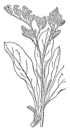 Picture of sea lavender plant. Plants growing 10-70 cm tall from a rhizome. Leaves are simple, entire to lobed, and from 1-30 cm long. Flower color is pink or violet to purple in most species, vintage line drawing or engraving illustration. Illustration