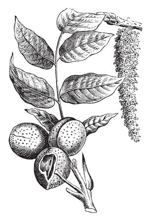 Nut is a simple dry fruit in which the ovary wall becomes increasingly hard as it matures protects the growing embryo. Examples of nut fruits are pecan, almond, walnut, hazelnut etc, vintage line drawing or engraving illustration.
