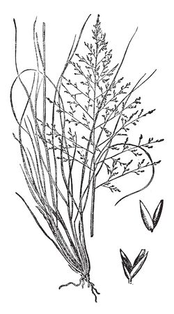 This Picture has Three Lengths of Salt Grasses the Leaves of the Plants are Small but the Branches are very large, vintage line drawing or engraving illustration.