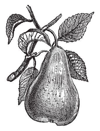 This picture shows a fruit tree belonging to the same genus as the apple and cultivated extensively for its fruit. It is native to Eurasia, where it may be found in many regions still, vintage line drawing or engraving illustration. Stock Illustratie