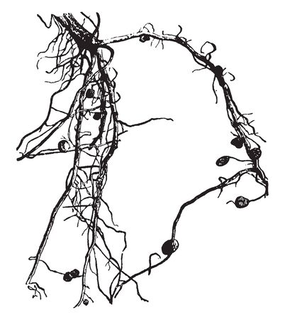 Root nodules are fully differentiated plant organs that harbor procaryotic nitrogen-fixing endosymbionts, vintage line drawing or engraving illustration.