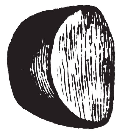 The image shows the external layer or coat of the seed and is fitted to the inner nut or kernel close and even, vintage line drawing or engraving illustration. Illustration