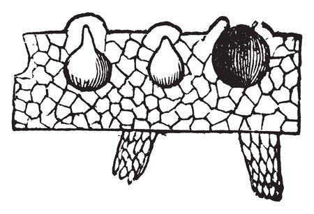 An image of riccia. It is the first cell of the gametophytic generation. In this image showing section of a part of the front and two immersed spore-cases and one empty space, vintage line drawing or engraving illustration.