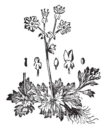 Picture of Saxifrage plant. Single flower clusters rise above the main plant body on naked stalks. Flowers have five petals and sepals and are usually white. It belongs to Saxifragaceae family, vintage line drawing or engraving illustration. Çizim