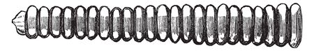 Rattlensnake rattle with twenty four joints, vintage line drawing or engraving illustration.