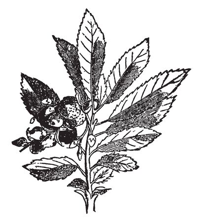 This picture is of a generic American wildflower known as Mayflower, vintage line drawing or engraving illustration. Standard-Bild - 133361516