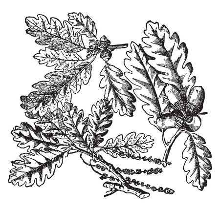 A picture of a branch of Oak tree. In the picture we can see the characteristic leaves and the peculiar fruit, known as acorn, vintage line drawing or engraving illustration.