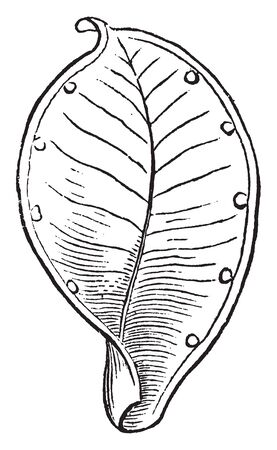 An image is of Pod and simple pistil of Caltha or Marsh-Marigold, which has opened and shed its seeds, vintage line drawing or engraving illustration.