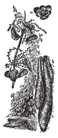 Yams are related to lilies and grasses. Yams vary in size from small to very large. They are starchier and drier, vintage line drawing or engraving illustration.