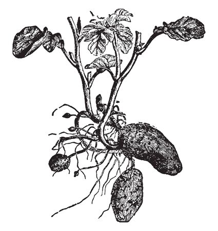 This shows the growth of the Potato under the ground. The process is called hilling to prevent greening of the tubers below ground. A potato isnt a root but an underground storage stem called a tuber, vintage line drawing or engraving illustration.