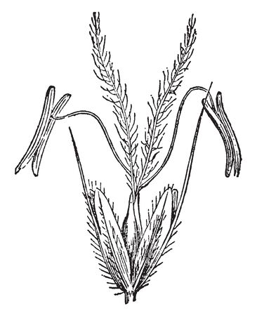 This picture represents Anthoxanthum commonly known as hornwort, vernal grasses, or vernalgrasses. It is found in Australia & New Zealand, vintage line drawing or engraving illustration. Illustration