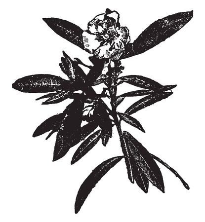 The Oleander is the common and sweet-scented oleander. They have lanceolate coriaceous leaves, with parallel veins and fine roseate flowers. The former is a native of India, vintage line drawing or engraving illustration. Ilustração