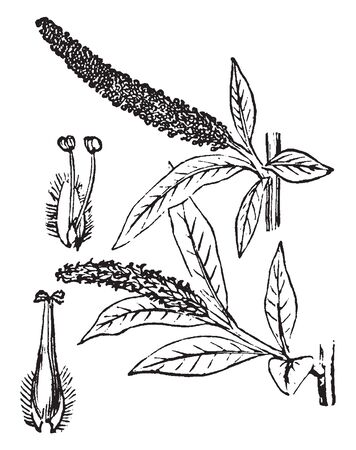 A picture showing different parts of Willow tree which is a class of shrubs of the genus Salix, which vary in size from shrubs only a few centimetres high to trees forty to seventy-five feet high, vintage line drawing or engraving illustration.