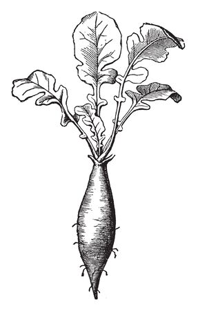 The taproot of a plant grows straight down and is very thick, vintage line drawing or engraving illustration. Ilustracja
