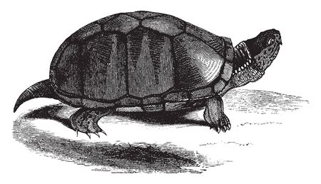 Mud tortoise is a common species of turtle endemic to the United States and six inches in length, vintage line drawing or engraving illustration.