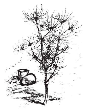 A picture of Parasol Pine. It is native to Southern Europe. The tree having branches looks like an Umbrella like crown, vintage line drawing or engraving illustration.