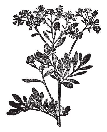 A picture is showing Rue plant. This is from Rutaceae family. Flower is yellow. Simple leaves and small compounded. This plant is dense, vintage line drawing or engraving illustration. Vectores