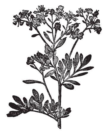 Una imagen muestra la planta de Rue. Esto es de la familia Rutaceae. La flor es amarilla. Hojas simples y pequeñas compuestas. Esta planta es densa, dibujo de línea vintage o ilustración de grabado.