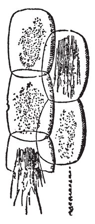 A picture, thats showing a Rumex cell. This is needle-like crystals forming bundles, vintage line drawing or engraving illustration.