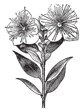 This plant contains two flowers with leaves in opposite direction, vintage line drawing or engraving illustration.