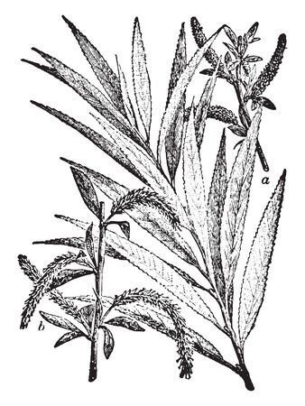 A picture showing a branch of Willow tree which is a class of shrubs or trees of the genus Salix, which vary in size from shrubs only a few centimetres high to trees forty to seventy-five feet high, vintage line drawing or engraving illustration. Ilustração