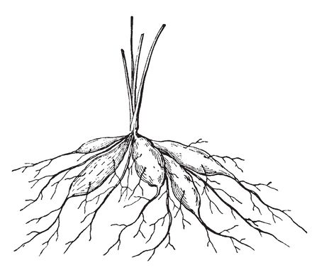In this picture shows a tuberous root. It is a long and thick. The lateral root has increased, vintage line drawing or engraving illustration.