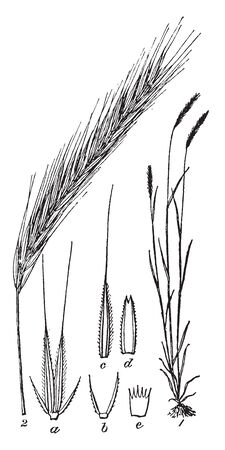 This is an Image of Rye It looks like a Wheat It is used as a Fodder for Animals, vintage line drawing or engraving illustration.