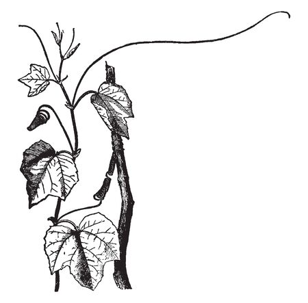 They climb through the supporting vegetation by means of coiled tendrils. They are mostly tendril-bearing vines, with some being shrubs or trees, vintage line drawing or engraving illustration.