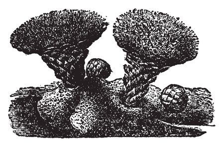 This is picture of scybaliu fungiforme, it looks like a throny type mushroom,the both mushroom growing there, vintage line drawing or engraving illustration.