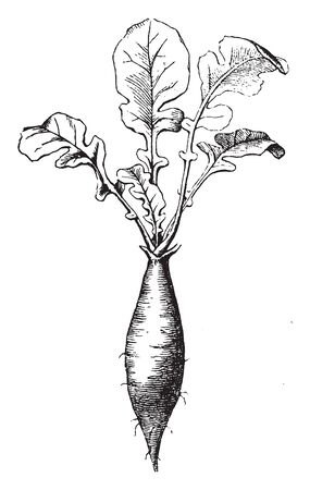 This is a radish root. Mostly eaten as a crunchy salad vegetable. Radish root have sharp flavour, vintage line drawing or engraving illustration.