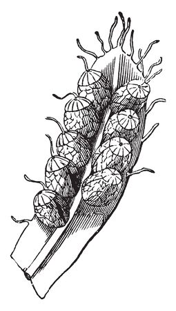 Picture of Schizea Pusilla which relates to the family Schizaeaceae and is native to New Brunswick, Newfoundland, and Nova Scotia in Canada, vintage line drawing or engraving illustration.