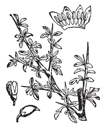 Myrrh is a yellowish-brown to reddish-brown aromatic gum resin which is obtain from a tree especially Commiphora abyssinica of the family Burseraceae, vintage line drawing or engraving illustration.