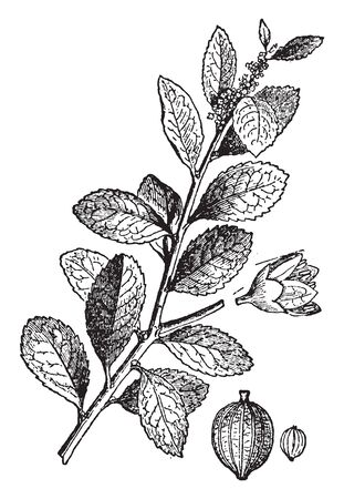 A picture showing branch of Paraguay tea which is a South American tree whose dried leaves produce a tea when boiled, vintage line drawing or engraving illustration.