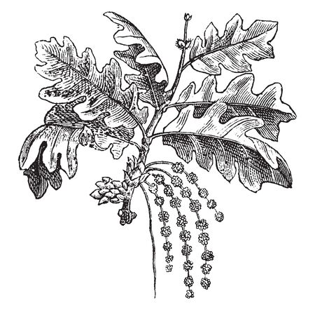 An oak is a tree or shrub in the genus Quercus of the beech family, Fagaceae. There are approximately 600 extant species of oaks, vintage line drawing or engraving illustration. Ilustração