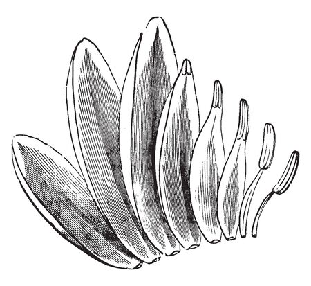 A picture is showing the transitions of sepals, petals, and stamens of White Water-Lily, vintage line drawing or engraving illustration. Ilustracja