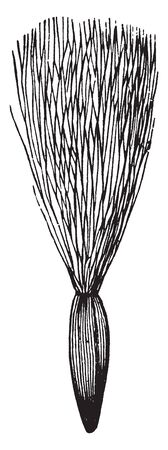 A picture shows the Sow-thistle Plant with its pappus of delicate downy hairs. It is a weed having thistle like leaves, yellow flowers, and a milky juice, vintage line drawing or engraving illustration.