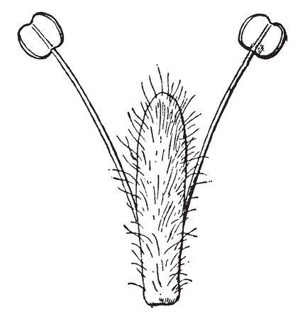 This is the branch White Willow. It has cylindrical trunk with two branches. Each one has fruit at its apex. This fruits are dual shaped and cylindrical trunk is surrounded by thin hair, vintage line drawing or engraving illustration.