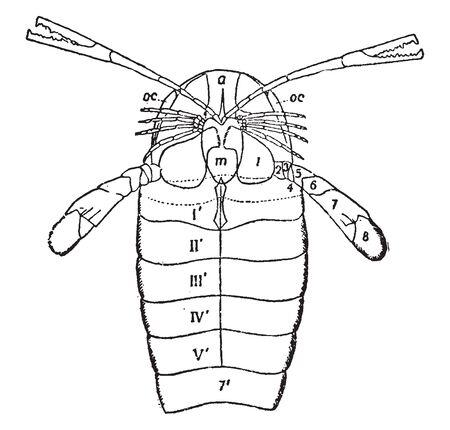 Pierygotus Osiliensis segments of the sixth prosomatic appendage, vintage line drawing or engraving illustration. Ilustração