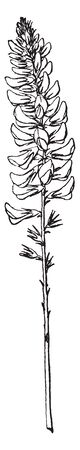 Sanfoin is an herb with pink flower plant. These plants grow on agricultural land and wasteland, vintage line drawing or engraving illustration.