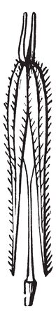 Plants that are not normally considered as crops are consumed in times of famine. The two akene-like ripe carpals separating at maturity from a slender axis or carpophores, vintage line drawing or engraving illustration. Illustration