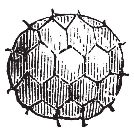 An image of tilletia. This image shows an individual spore, vintage line drawing or engraving illustration.