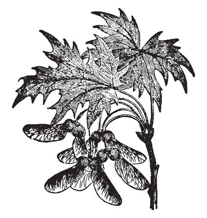 Genus is the types of Acer tree. it is a containing with eighty species. Which are found in to the North Temperate Zone, vintage line drawing or engraving illustration. TEST