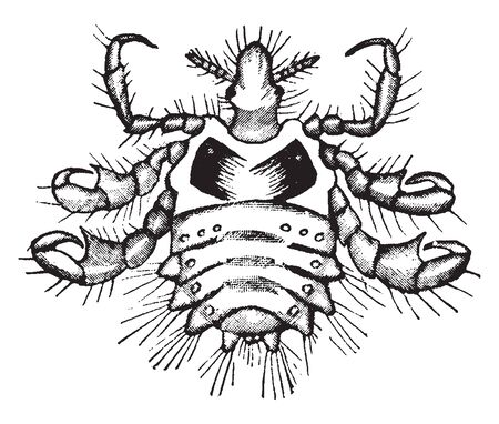 Crab louse is an insect that is an obligate ectoparasite of humans feeding exclusively on blood, vintage line drawing or engraving illustration.